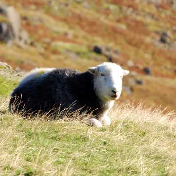 Sheep on the fells