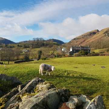 Lake District locals - the Herdwick Sheep