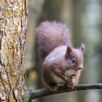 Red Squirrel spotting in the Yorkshire Dales