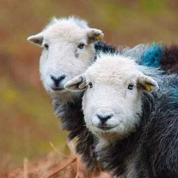 The Lake District's most loved sheep, the Hardy Herdwick